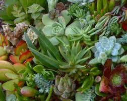 succulent terrarium duo echeveria gollum jade and red