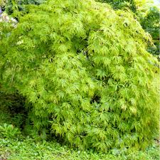 acer palmatum dissectum buy weeping japanese maples
