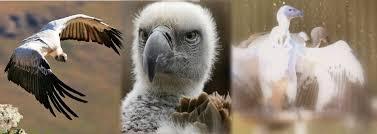 Seeking Vulture Cape Vulture Discovering The