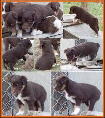 miniature australian shepherd 6 weeks bandit u0027s spring litter 1 pup7 bet blue eyed red tri female