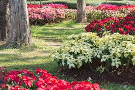 poinsettia tree and white poinsettia tree in garden stock photo picture and