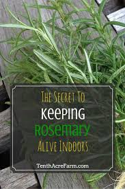 Herbs Indoors Best 25 Rosemary Plant Ideas On Pinterest Lemongrass Mosquito