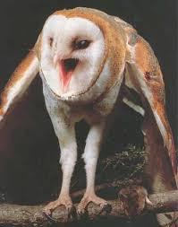 Where Does The Barn Owl Live Barn Owls Of The Niagara Region