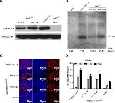plos pathogens dna polymerase κ is a key cellular factor for the