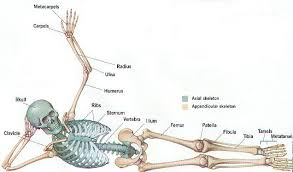 reference anatomy and physiology skeletal system test at best