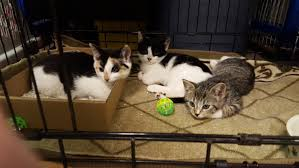 kitten season arrives in nyc adopters u0026 fosters needed cbs new york