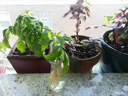 indoor herbs to grow indoor herb care u2013 winter edition we can grow it