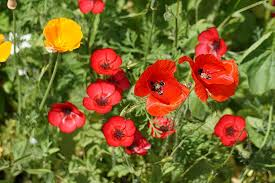 poppies flowers free photo poppies flowers fields nature free image on