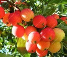 ornamental fruit tree promotion shop for promotional ornamental
