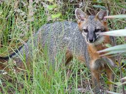gray foxes hang on in urban south florida sun sentinel