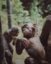 siege social bonobo 17 best the battaglia s images on pretty