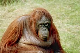roll royce orangutan quigley u0027s cabinet may 2012