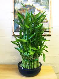 1 lucky bamboo ribbon plant evergreen indoor bonsai in ceramic pot