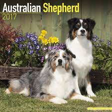hiking with australian shepherds australian shepherd calendar 2017 dog breed calendars 2016