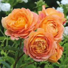 Enchanted Rose That Lasts A Year David Austin Roses Bare Root Roses Container Roses English