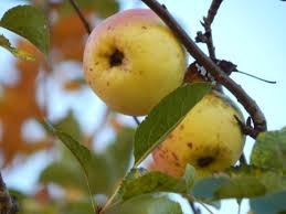 Apple Tree In My Backyard Stalking The Wild Apples Find An U201cheirloom U201d In Your Backyard