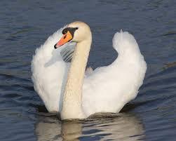 online jigsaw puzzle mute swan