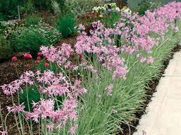 tulbaghia violaceae silver lace pavement plants