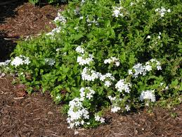 native climbing plants white plumbago florida native shade butterfly ifas ufl edu