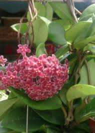 Indoor Fragrant Plants - answered houseplant 411 how to identify and care for