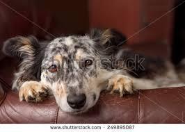 australian shepherd emoji unhappy dog stock images royalty free images u0026 vectors shutterstock