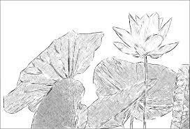 lotus flower sketches drawings flickr