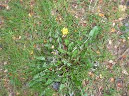 native plants of new jersey a wandering botanist plant story common dandelions of the world