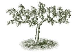 steven noble illustrations kirkland vine tree
