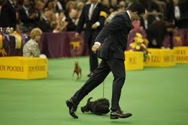 affenpinscher won westminster westminster dog show 2013 banana joe swagger u0026 more photos