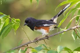 eastern towhee audubon field guide