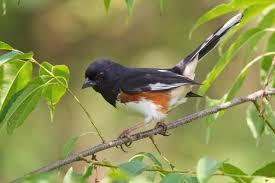 eastern towhee audubon field guide