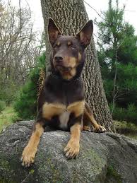 resume template accounting australian kelpie dog temperament by breed working kelpie dog breed information groom pictures picture