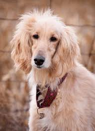 afghan hound grooming styles afghan hound afghan hound with ethnic collar photo and wallpaper