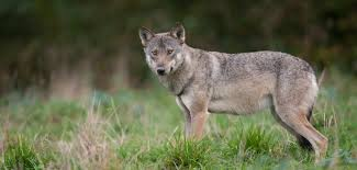 the wolf is back in belgium focus on belgium