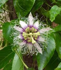 plant profile passiflora edulis u2013 theahimsaproject