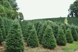 real christmas trees for sale real christmas trees for sale fraser fir trees