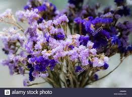 statice flowers purple statice flowers stock photo 139367254 alamy