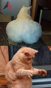 Gato Meme - dopl3r com memes un gato con un gran trasero