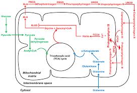 ijms free full text aminolevulinic acid based tumor detection