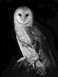 Barn Owl Photography Barn Owl Z Blog