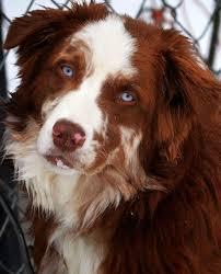 australian shepherd with blue eyes sunbear australian shepherds 336307 4575 tiberious