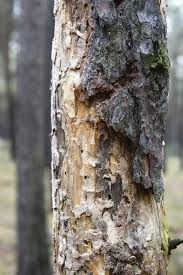 pine bark beetle and treatments for infected trees