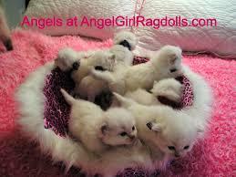 beautiful tiny fluffy traditional purebred ragdoll ki u2026 flickr