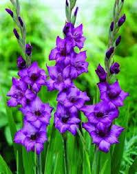 gladiolus flowers totally free gladiolus flower bulbs worldwide