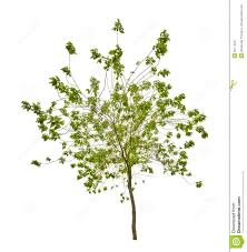 isolated small tree with green leaves royalty free stock