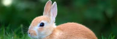 bunny vs rabbit difference and comparison diffen