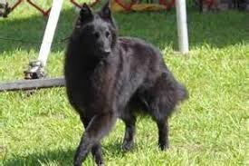 belgian sheepdog varieties dog breeds