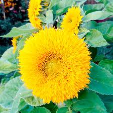 teddy sunflowers sunflower teddy rob smith cut flowers flowers garden