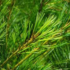 white pine tree adirondack trees eastern white pine pinus strobus