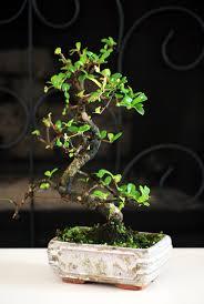 gift tree free shipping live fukien tea tree bonsai free shipping gift